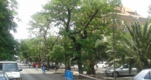arboles-salvados-virgen-guadalupe-caceresverde-acacias-2